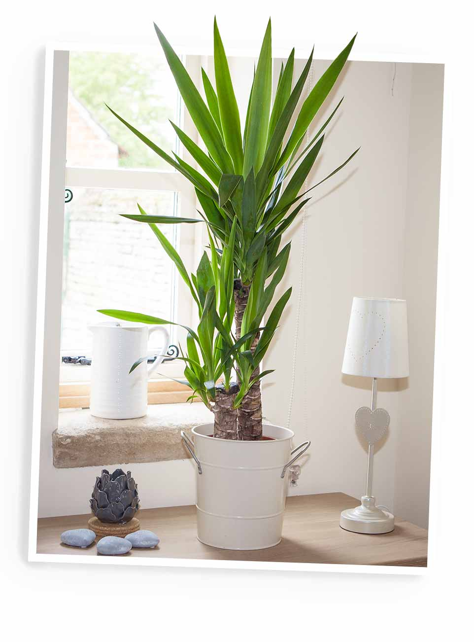 Yucca elephantipes 3 stem AVAILABLE IN 3 SIZES!