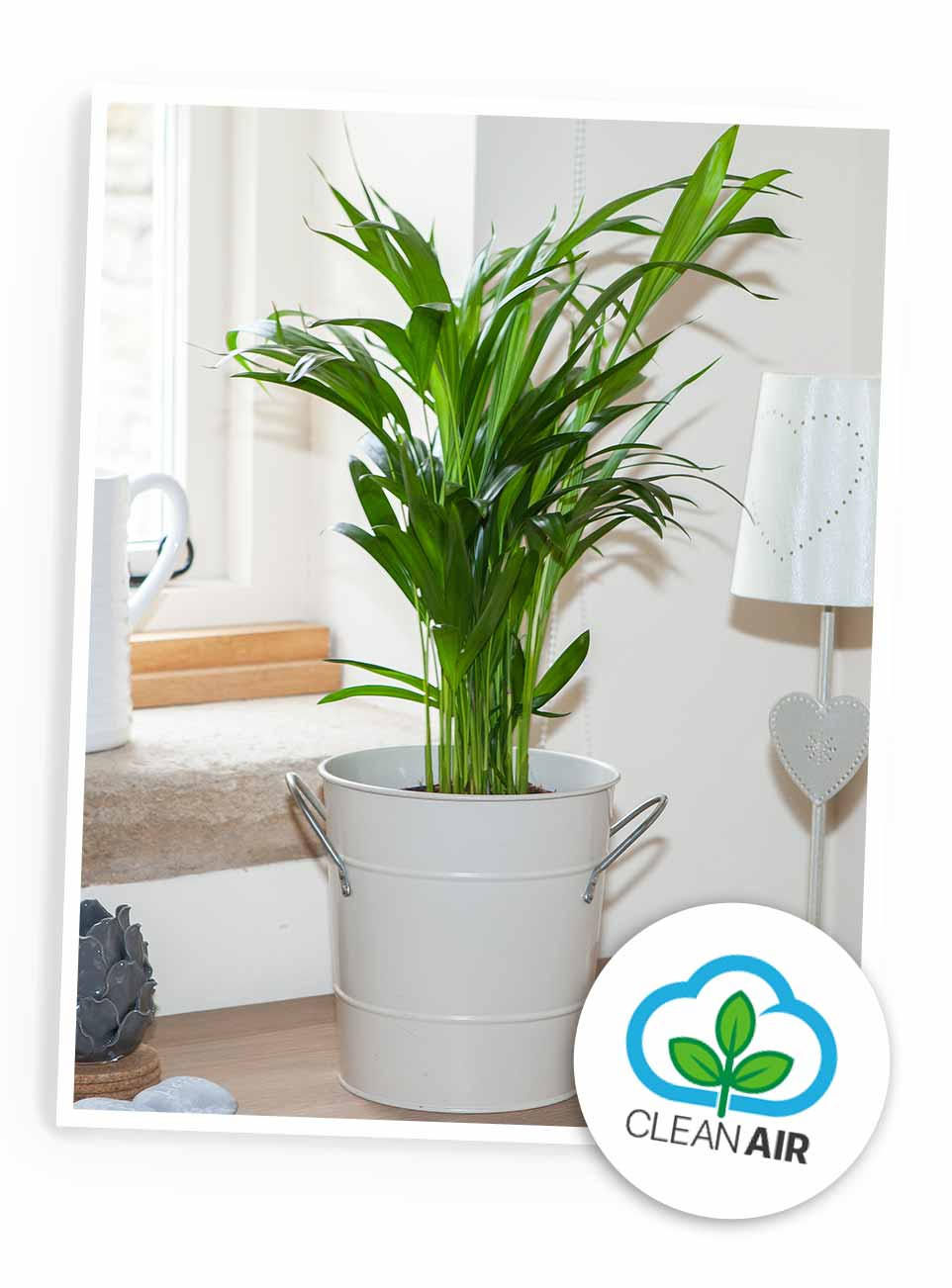 Areca Palm - Butterfly Palm AVAILABLE IN 2 SIZES!
